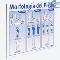 Morfologia del Poster - Morfologia del Piede