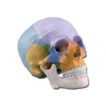 Modello Cranio Umano 3 Parti Colorato