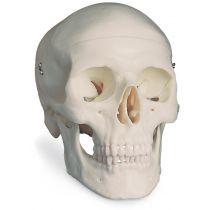 Modello Anatomico del Cranio